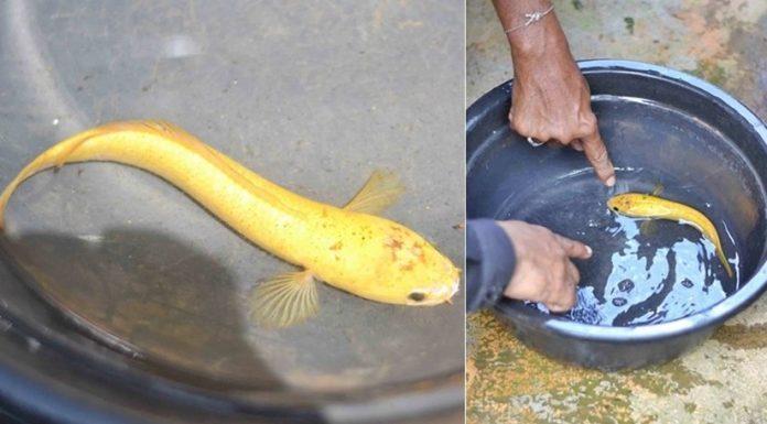 ตีเลขเด็ด! ปลาช่อนประหลาดสีเหลืองทองทั้งตัว !