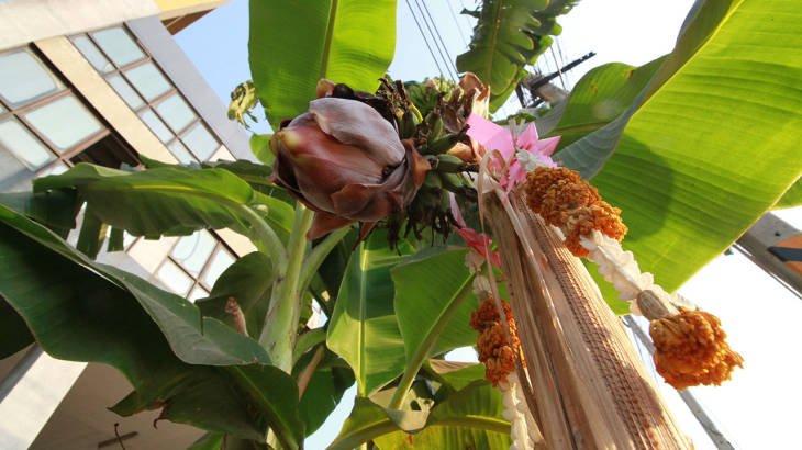 ชาวปทุมฯ แห่ขอเลข กล้วยประหลาด ยืนต้นตาย แต่มีปลี ผลแทงออกมา