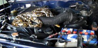 มาได้ไง! งูเหลือมยักษ์นอนขดตัวในห้องเครื่อง เจ้าของรถแทบช็อก
