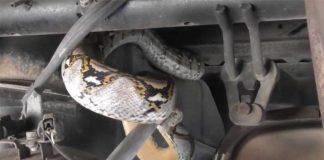 มาได้ไง! งูเหลือมสีเหลืองทองเลื้อยมุดใต้ท้องรถ คอหวยไม่พลาดจดเลขทะเบียนรถ